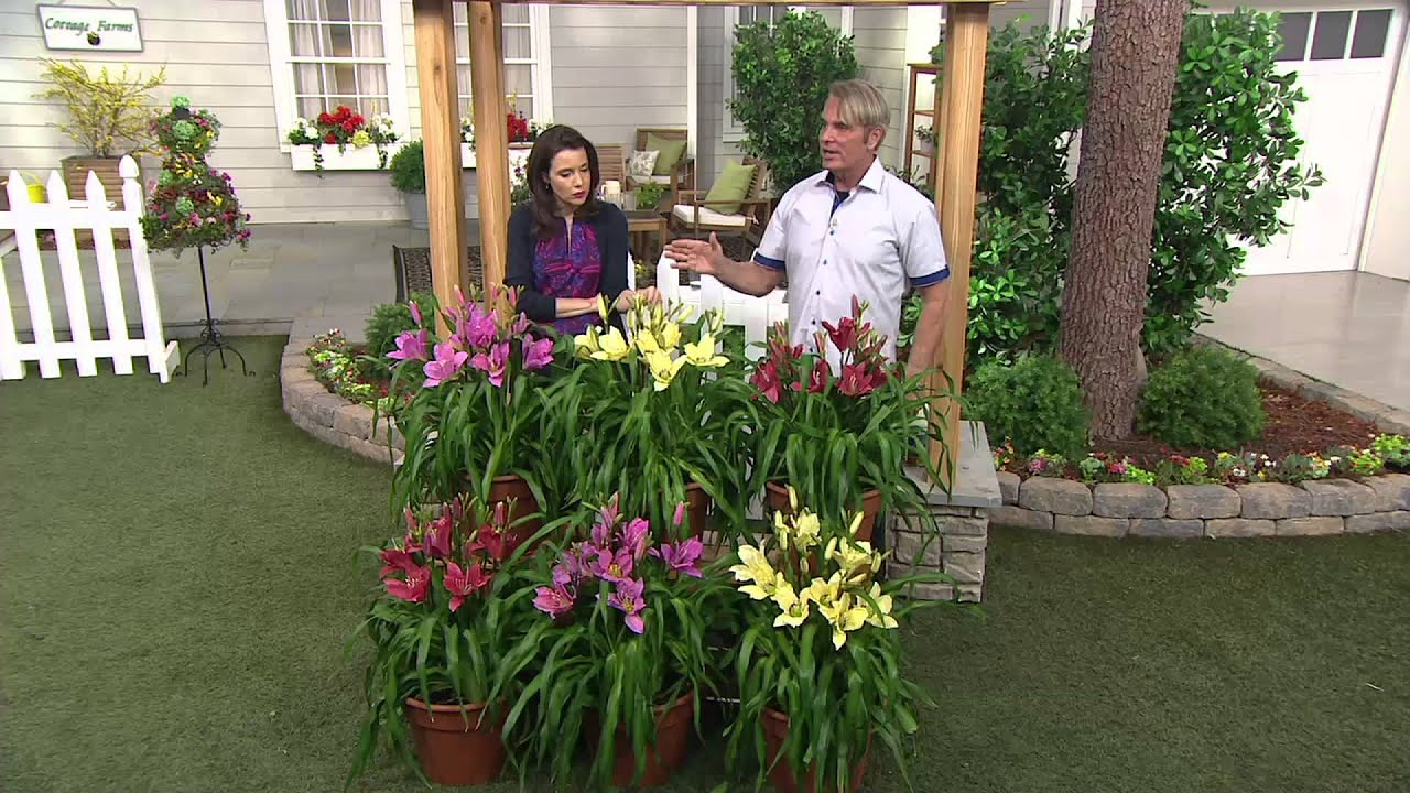 Cottage Farms 6 Piece Dwarf Reblooming Daylily Collect On Qvc Youtube
