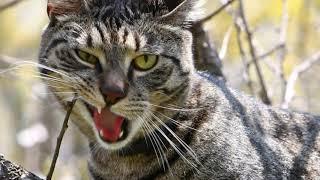Влюблённый кот. Укрощение строптивой!