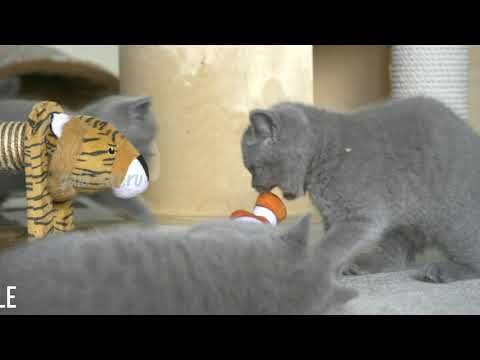 Британские котята в возрасте 2 месяца (Litter- P2)