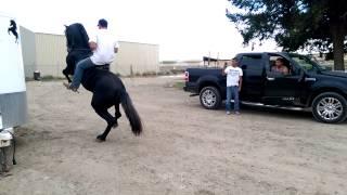 """Ranchero Y Gallardo """"Obama"""" Caballo Fresian/Andaluz Bailando"""