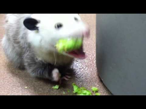 Opossum eating broccoli
