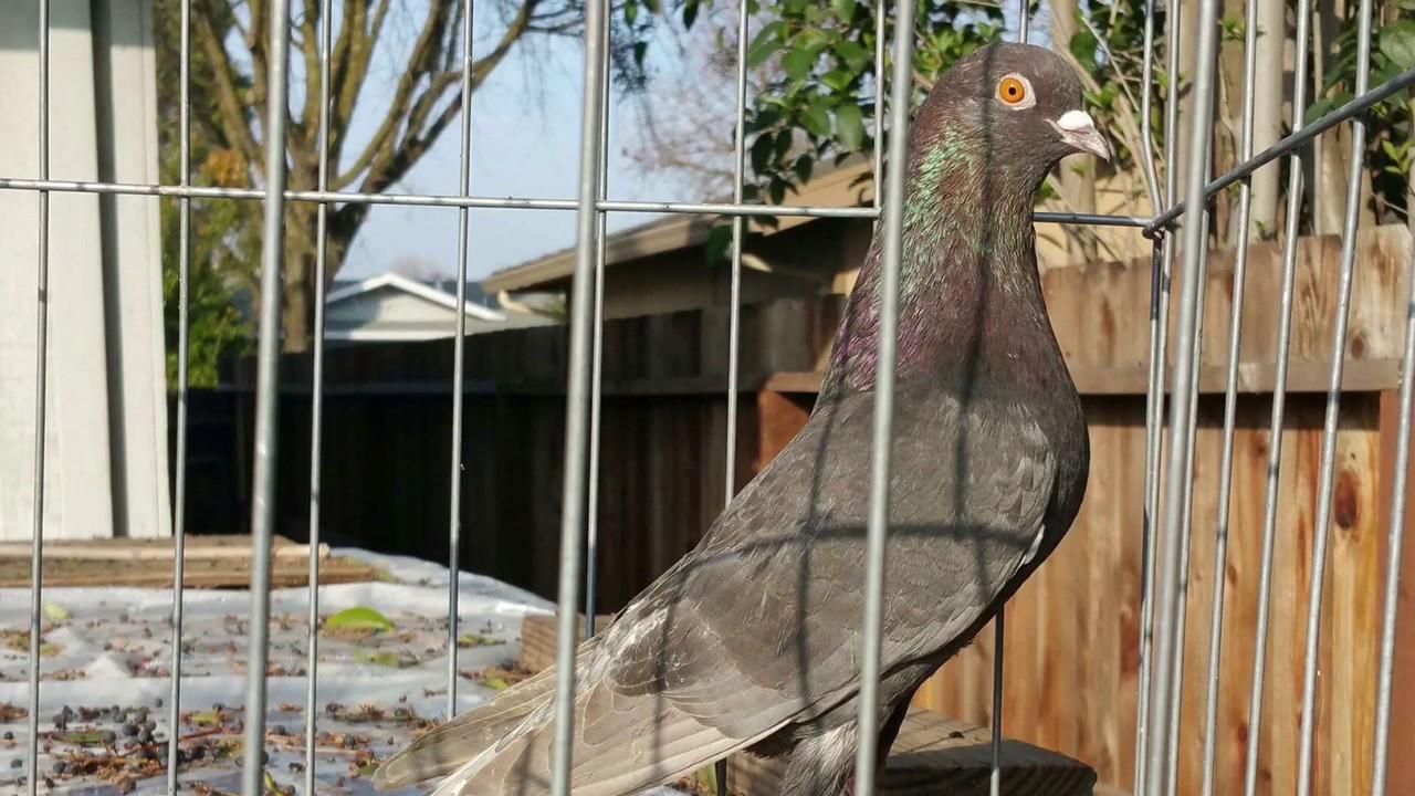 John Vang roller pigeon