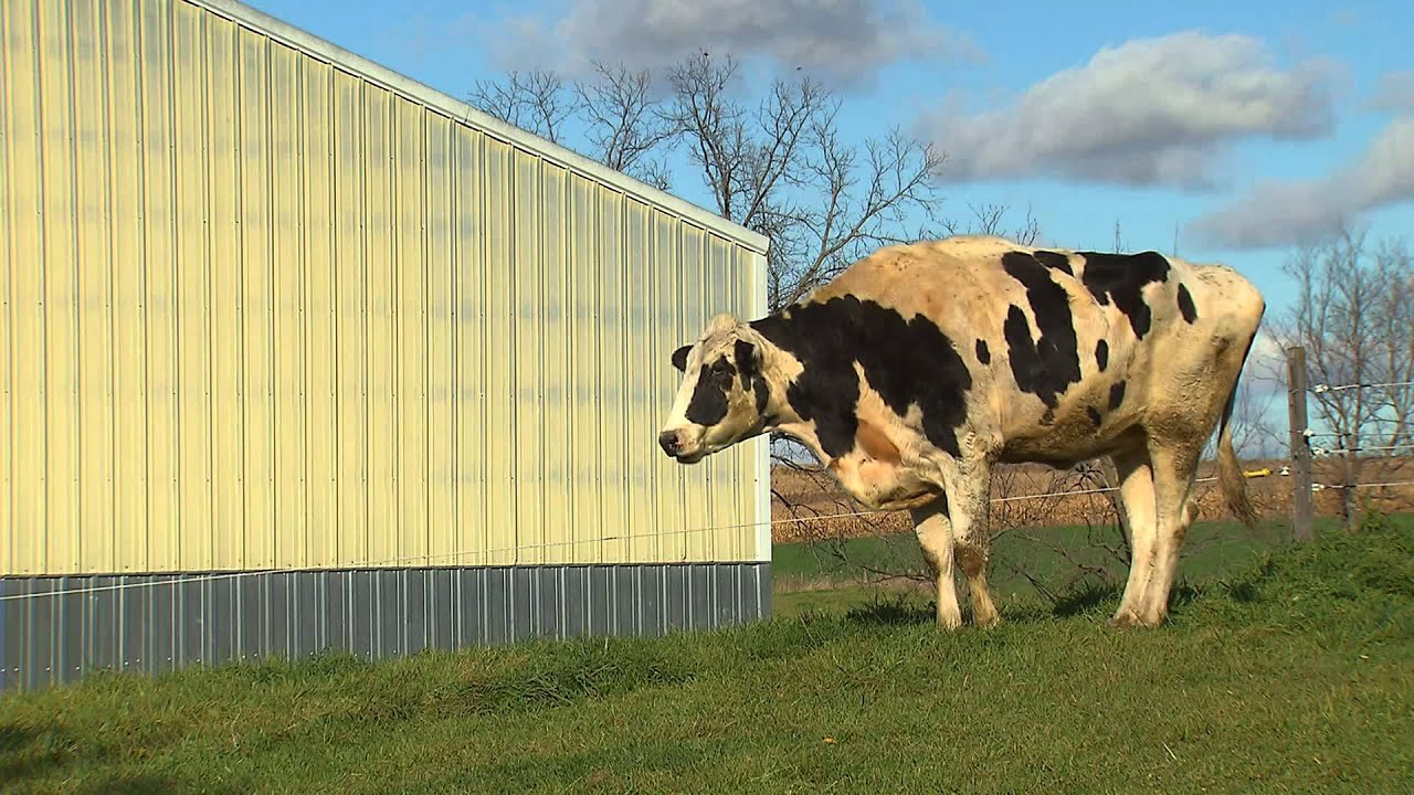 The tallest cow in the world