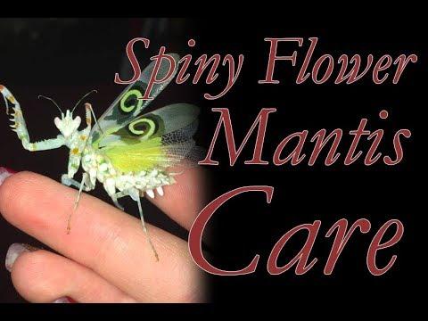 Spiny Flower Mantis Care - Not A Cactus