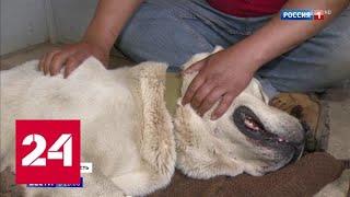 Волок за машиной: в Подмосковье спасли от живодера собаку породы алабай - Россия 24