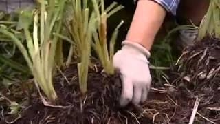 Когда и как следует высаживать лилейники в открытый грунт?