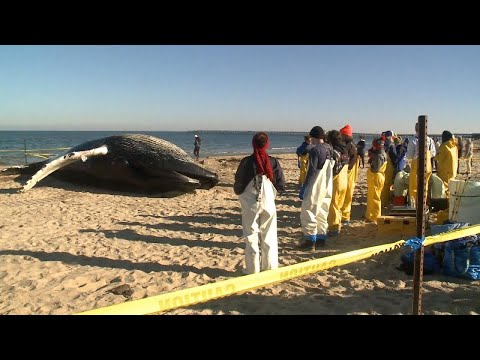 Young Humpback Whale Found Dead on Virginia Beach