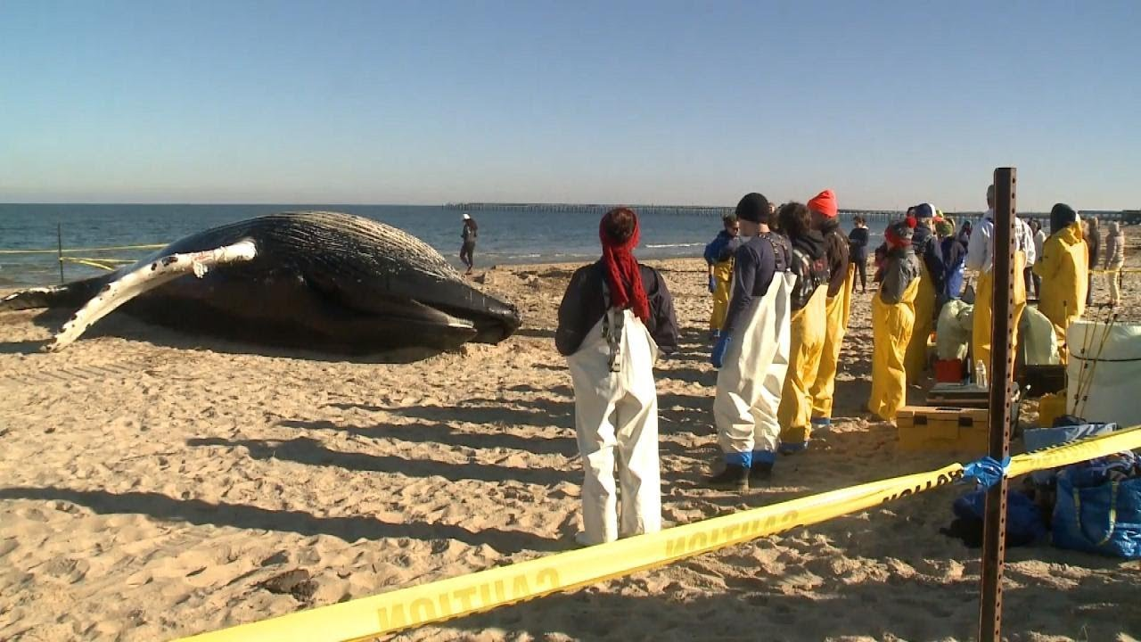 Young Humpback Whale Found Dead On
