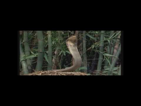 King Cobra and mongoose /wedding dance