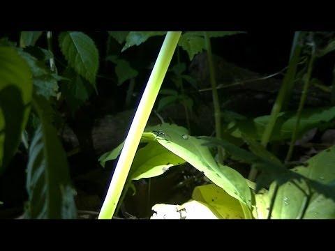 Jewelweed at Night