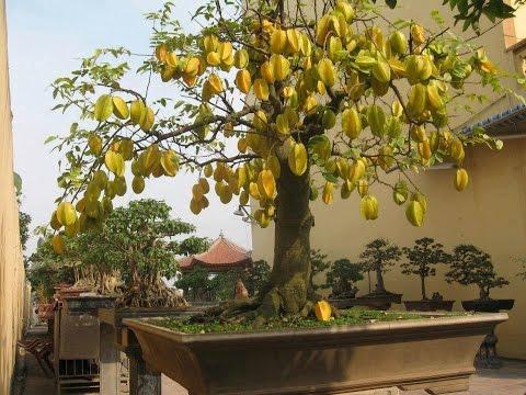 bonsai star fruit tree, carambola averhoa carambola, Beautiful flower