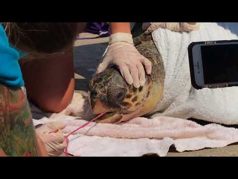 Seaturtle gets rescued after swallowing fishing net in Greece
