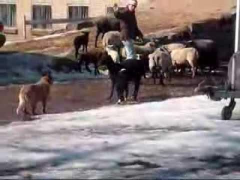 Australian Cattle Dog Rocky herding