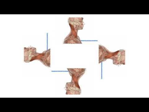 Músculos superficiales del cuello Esternocleidomastoideo y Platisma ...