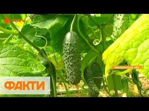 Без химикатов и с голландских семян: как выращивают ранние огурцы в Закарпатье