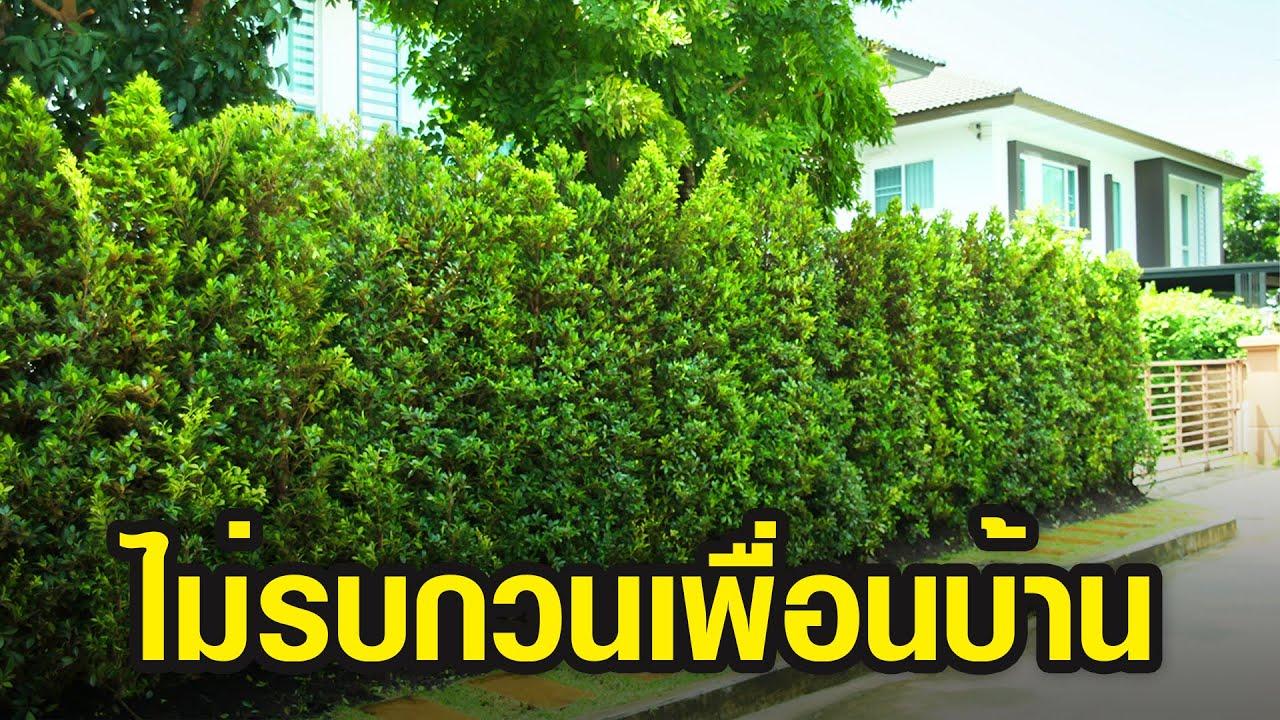 6 ต้นไม้ปลูกแนวรั้ว ยอดนิยม ช่วยบังลมบังแดด บังสายตา ไม่รบกวนเพื่อนบ้าน