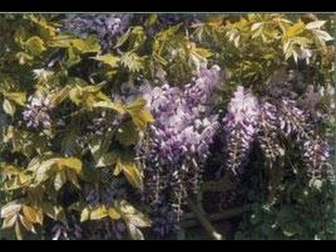 plantes grimpantes bougainvill e glycine jasmin et rhyncospermum youtube. Black Bedroom Furniture Sets. Home Design Ideas