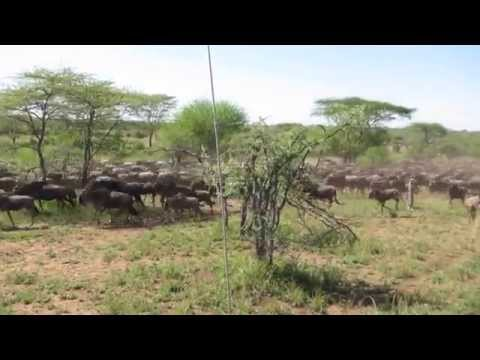 Serengeti National Park - Wildebeest herd