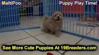 Maltipoo, Puppies, For, Sale, In, Bridgeport, Connecticut, Ct, Newington, Manchester, Naugatuck, Tor