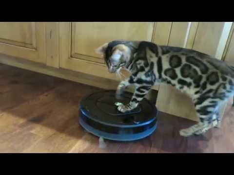 Roomba Bengal Kitty