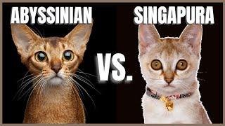 Abyssinian Cat VS. Singapura Cat