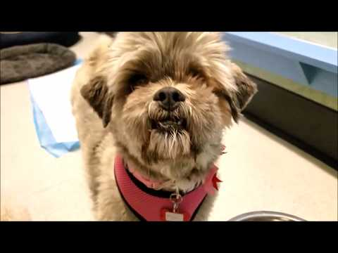 Pippi, a female Lhasa Apso mix at Muttville