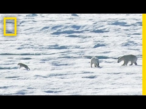 EXCLUSIVE: Male Polar Bear Chases and Eats Cub