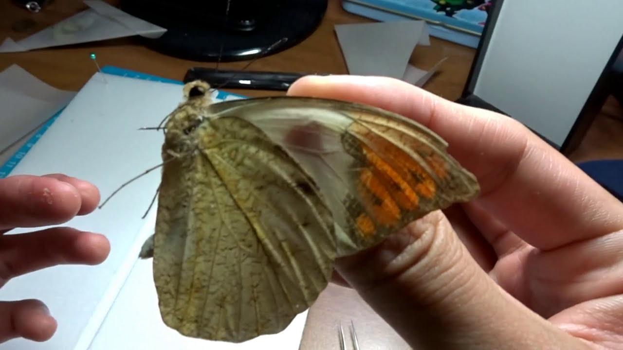 蝴蝶標本製作 - YouTube