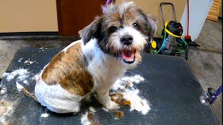 Reverse Cut On A 'Schnauzer' (Shih Tzu/Terrier Mix)