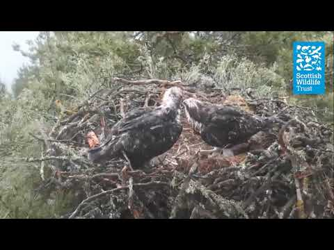 Osprey chicks flapping