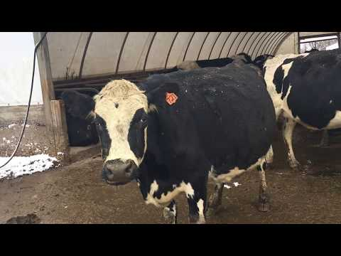 Grass-Fed Dairy Cattle in Winter