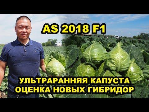Выращивание овощей. Капуста AS 2018 F1. Ультраранняя капуста