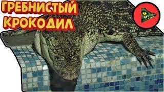 ЦАРЬ КРОКОДИЛОВ! Гребнистый крокодил. (Crocodylus porosus)