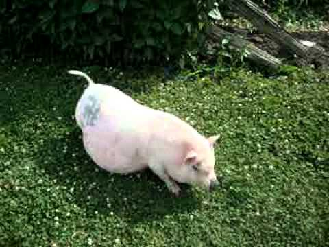 Pregnant Potbelly Pig Frenchy Youtube