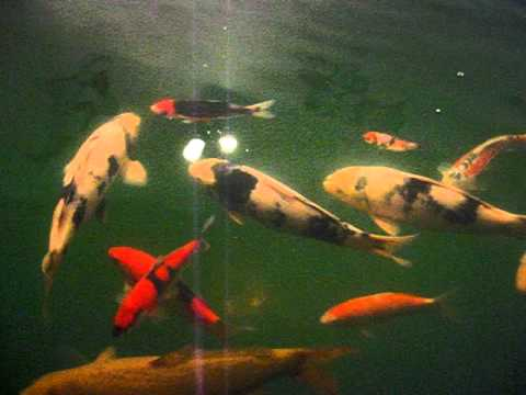 My 100 gallons koi tank doovi for Indoor koi aquarium
