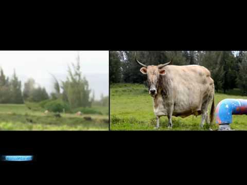 FBI Investigation Cattle Alien Abduction! Cow Mutilation Traumatizes Family 2016