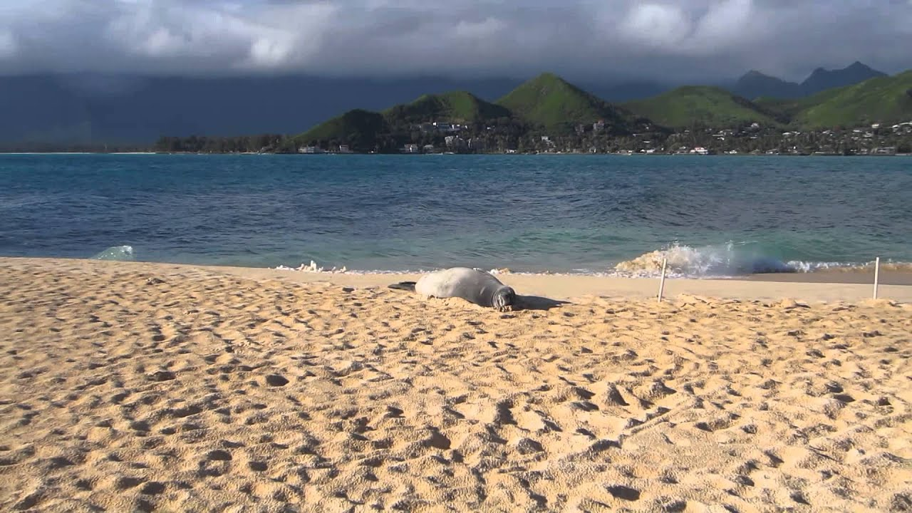 Na Mokulua Hawaii: Sleeping Sea Lion (or Seal?) On Na Mokulua (Two Islands