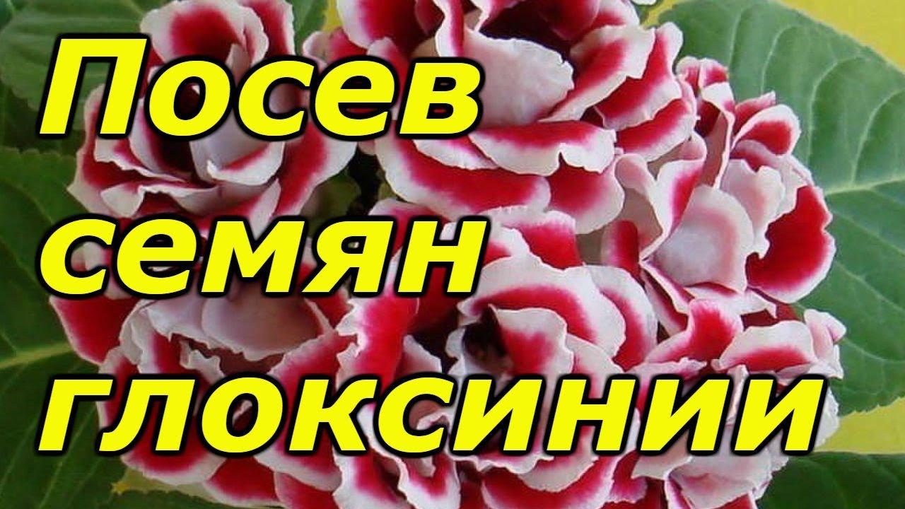 ГЛОКСИНИЮ СЕЕМ ТОЛЬКО ТАКИМ СПОСОБОМ!