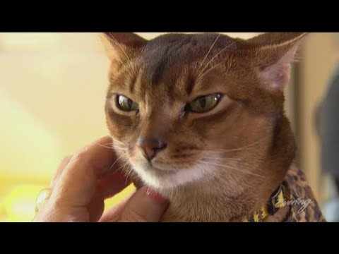 Meet Abner, the rockstar of pet therapy cats - KING 5 Evening