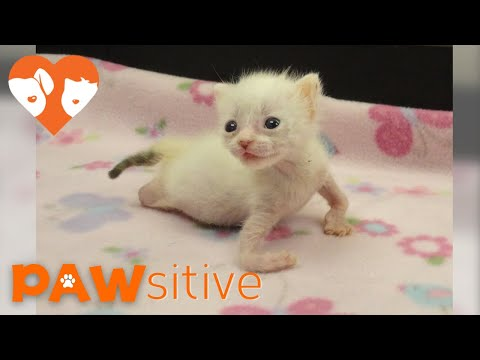 Kitten With Twisted Arms and Legs Refuses to Give Up