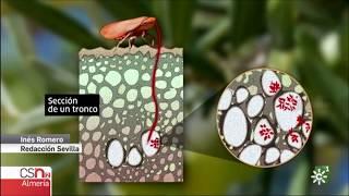 Xylella fastidiosa detectada en Almería