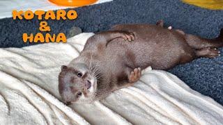 カワウソコタローとハナ プール後はごきげんに体ふきふき Otter Kotaro&Hana Wiggling and Drying Off After Swimming