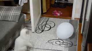 Асикс - невский маскарадный котенок