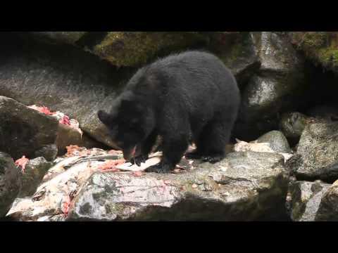 Salmon Buffet For Bears