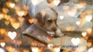 Золотистый ретривер самая добрая и не жадная собака