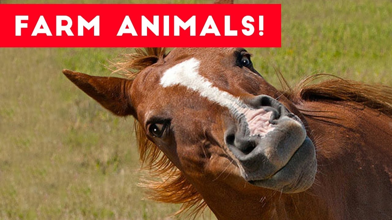 The funniest farm animals home video bloopers of 2017 - Funny pictures farm animals ...