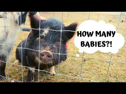 KIDDING is almost HERE! WHEN are our GOATS & PIG DUE to GIVE BIRTH?!? That's A LOT of BABY GOATS!