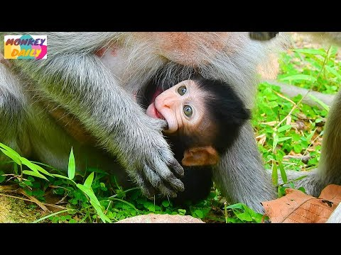 Tima seem unhappy deny milk baby | Timo baby look wonder mom & out to play happy | Monkey Daily 1838