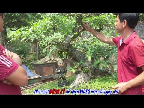 25 triệu cây Sung Nếp dáng Long, quả từ gốc tới ngọn.