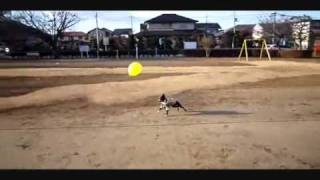 NEL of the Boston terrier He draws a balloon and a play a flowing l...